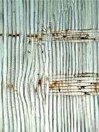 ARAUCARIACEAE Agathis robusta