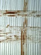 ARAUCARIACEAE Araucaria cunninghamii