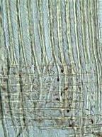 TAXACEAE Taxus brevifolia