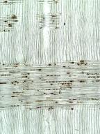 SAPINDACEAE Acer pseudoplatanus