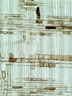 LAURACEAE Actinodaphne glomerata