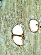LEGUMINOSAE MIMOSOIDEAE Balizia pedicellaris