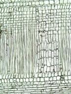 URTICACEAE Myrianthus arboreus