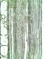 FAGACEAE Quercus petraea