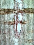 LEGUMINOSAE MIMOSOIDEAE Acacia decurrens