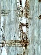 LEGUMINOSAE MIMOSOIDEAE Acacia holoseriacea