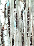 LAURACEAE Alseodaphne umbelliflora