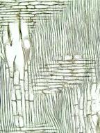 MELIACEAE Turraeanthus africana