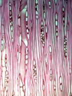 SCROPHULARIACEAE Myoporum insulare