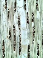 LAURACEAE Pleurothyrium cuneifolium