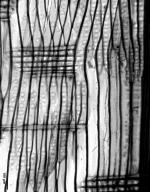 PINACEAE Pinus fenzeliana