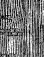 PINACEAE Pinus nelsonii