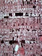 MALVACEAE MALVOIDEAE Thespesia populneoides