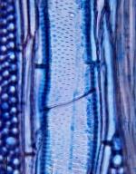 LEGUMINOSAE MIMOSOIDEAE Acacia choriophylla