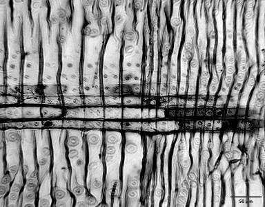 PINACEAE Pinus culminicola