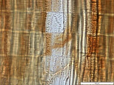 SAPOTACEAE Gambeya africana