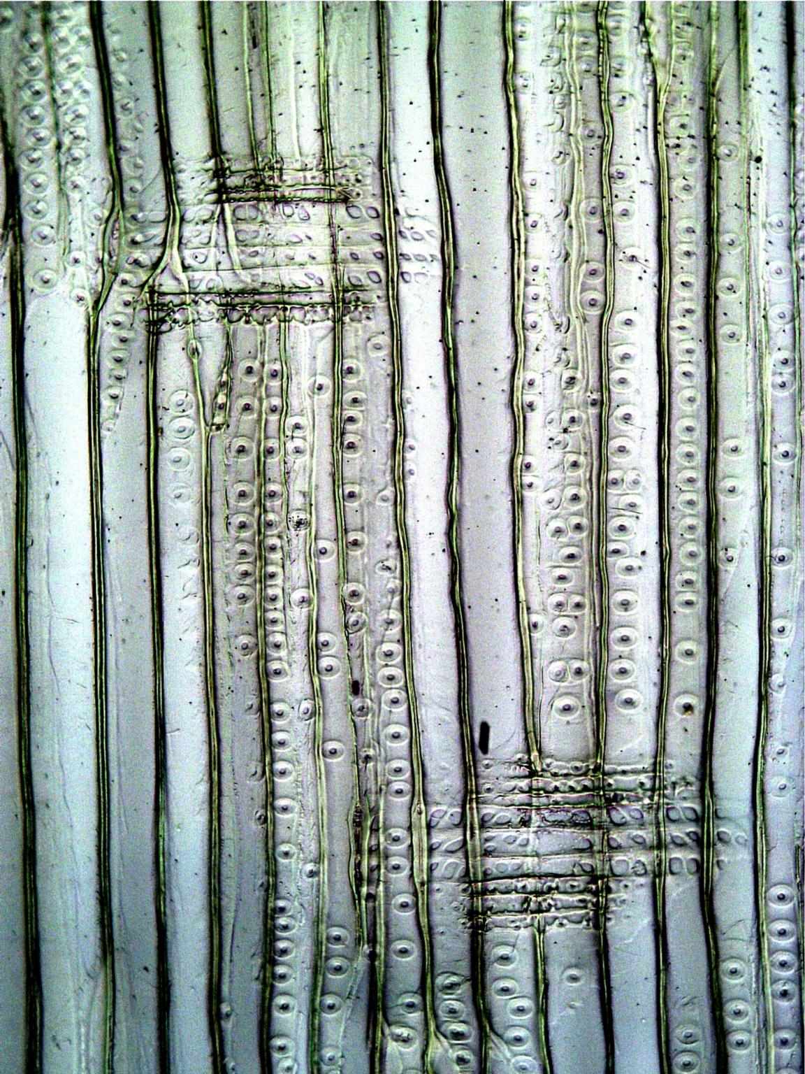 PINACEAE Pinus echinata