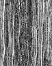 CELASTRACEAE Cassine crocea