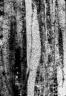 CERCIDIPHYLLACEAE Cercidiphyllum alalongum