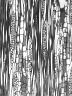 BIGNONIACEAE Oroxylum indicum
