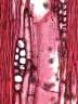 BIGNONIACEAE Parmentiera macrophylla