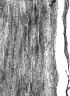 ROSACEAE Prunus africana