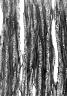 RHIZOPHORACEAE Rhizophora mucronata