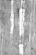 BIGNONIACEAE Jacaranda acutifolia