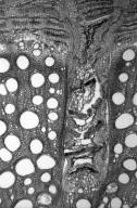 BIGNONIACEAE Bignonia microcalyx