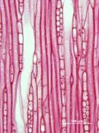 ADOXACEAE Viburnum prunifolium