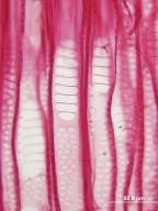 BETULACEAE Corylus cornuta californica