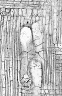 CORNACEAE Alangium grisolleoides