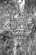 LEGUMINOSAE CAESALPINIOIDEAE Caesalpinia cacalaco
