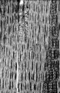 LEGUMINOSAE CAESALPINIOIDEAE Caesalpinia coriaria