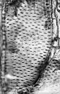 LEGUMINOSAE CAESALPINIOIDEAE Cassia roxburghii