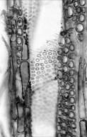 LEGUMINOSAE CERCIDOIDEAE Cercis canadensis