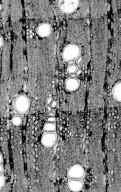 LEGUMINOSAE DETARIOIDEAE Colophospermum mopane