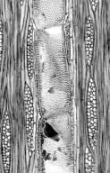 LEGUMINOSAE DETARIOIDEAE Copaifera officinalis