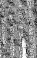 LEGUMINOSAE CAESALPINIOIDEAE Crudia glaberrima