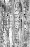 LEGUMINOSAE CAESALPINIOIDEAE Cynometra alexandri