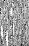LEGUMINOSAE DETARIOIDEAE Cynometra alexandri