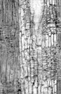 LEGUMINOSAE CAESALPINIOIDEAE Vouacapoua americana