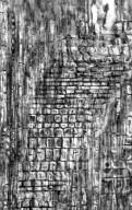 EBENACEAE Diospyros revaughanii
