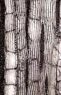 ANNONACEAE Asimina triloba