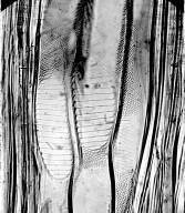 BETULACEAE Betula pendula