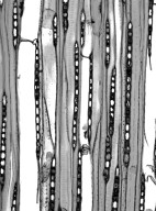 HAMAMELIDACEAE Exbucklandia tonkinensis