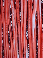 HAMAMELIDACEAE Mytilaria laosensis