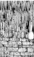 LAURACEAE Ocotea usambarensis