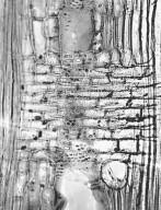 LAURACEAE Persea borbonia