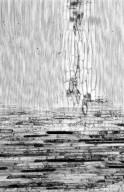 LEGUMINOSAE MIMOSOIDEAE Acacia nilotica